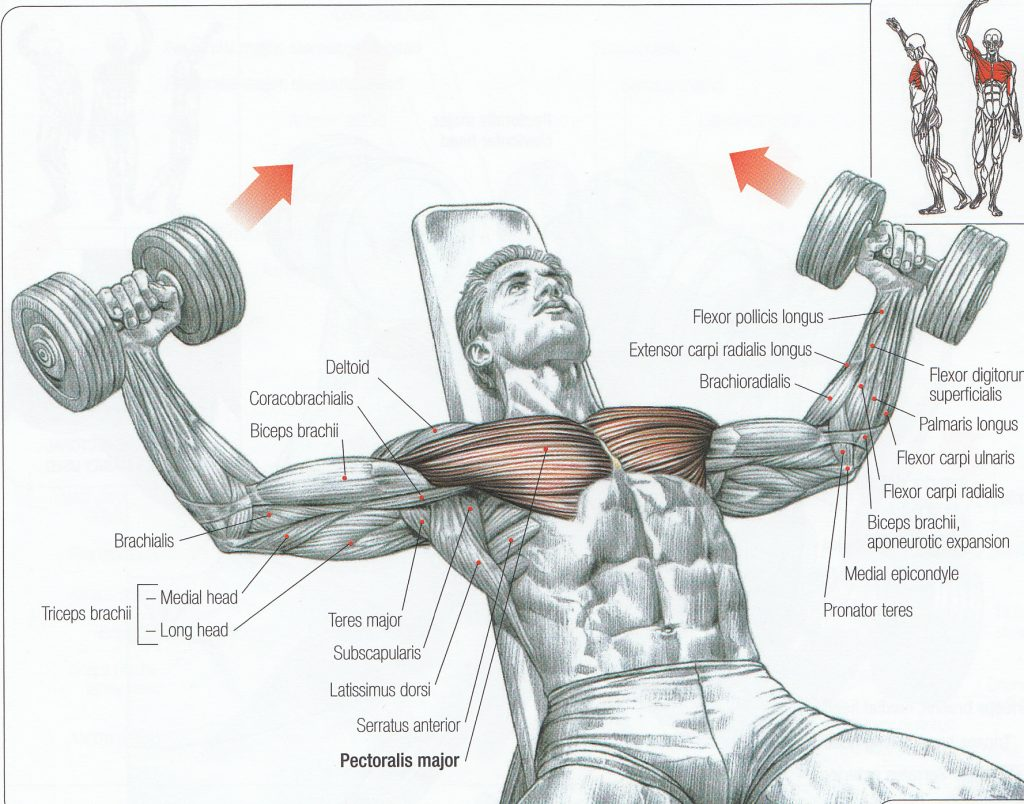 An animation of someone performing a dumbbell fly