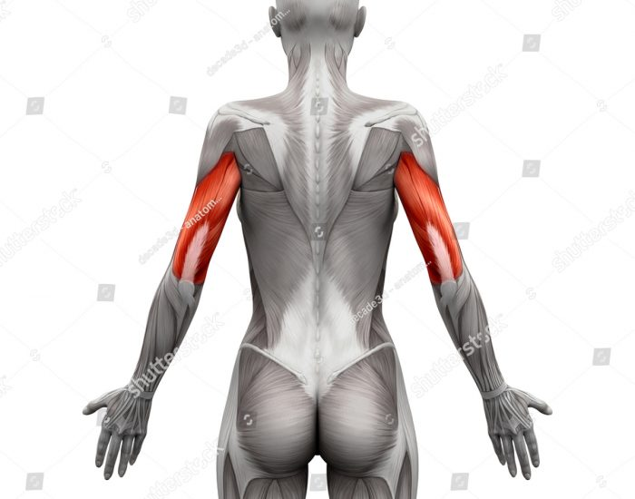An animation highlighting the musculature of the triceps