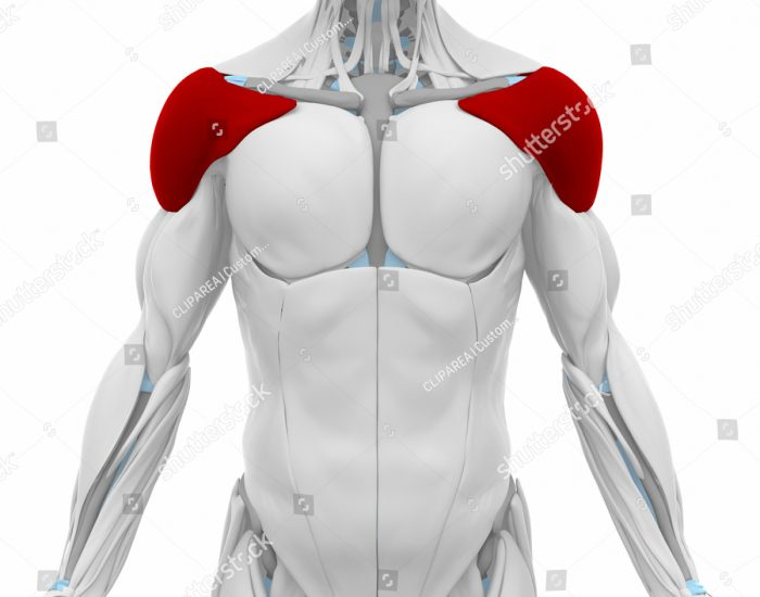 An animation highlighting the musculature of the shoulder